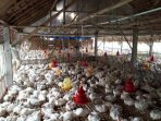 Ilustrasi Peternakan Ayam