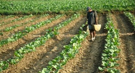 sejarah tembakau madura