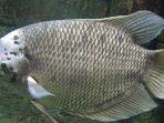 Ilustrasi Ikan Gurami Foto pinterest