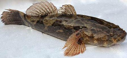 Ilustrasi Ikan Betutu - Foto pinterest