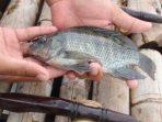 Ilustrasi Ikan Nila Foto pinterest