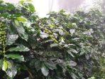 Perkebunan Kopi Baringga di Bandung, Jawa Barat