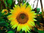 Ilustrasi Bunga Matahari
