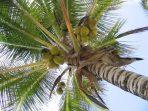 Ilustrasi Pohon Kelapa