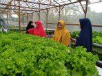 Pertanian sistem Hidroponik Sinatria Farm
