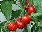 Ilustrasi Tanaman Tomat