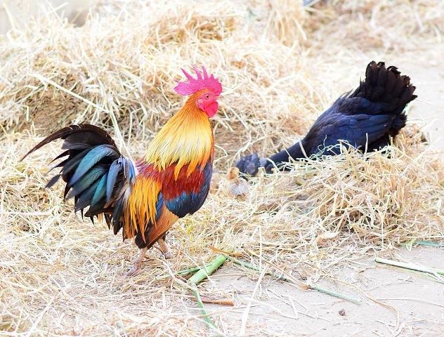 Ayam Kokok Balenggek