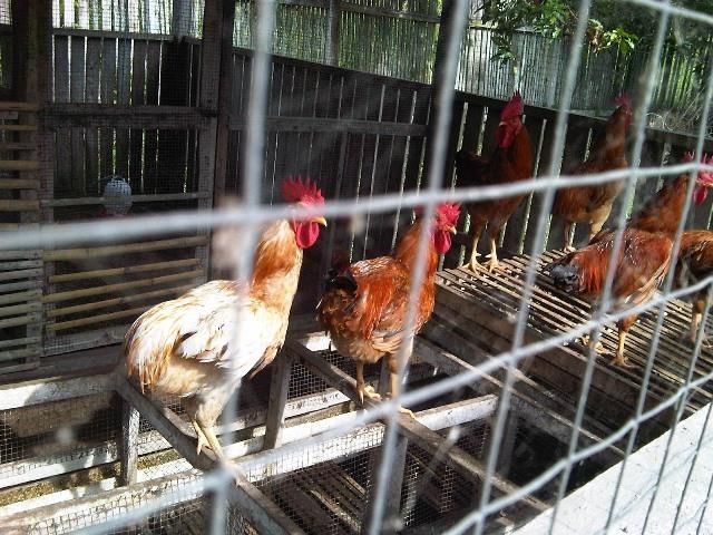Ayam Nunukan