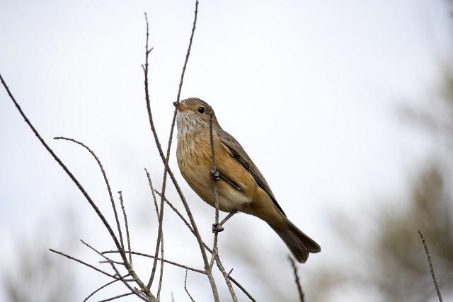 Burung Brajangan