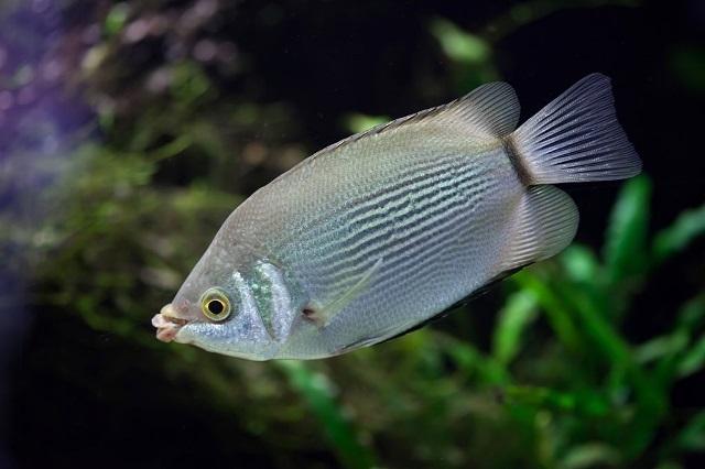 Ikan Biawan