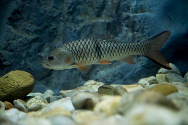 Ikan Hampala