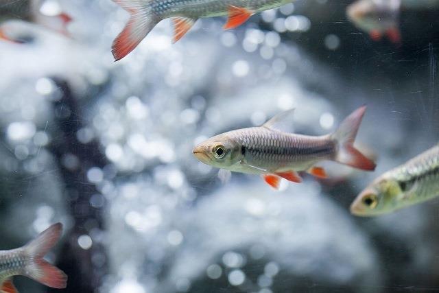 Ikan Jelawat