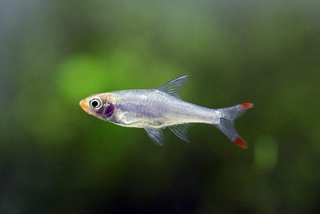 Ikan Soaboa
