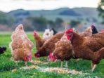Ilustrasi Ayam Kampung