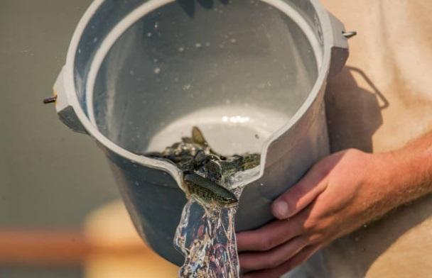 Budidaya Ikan dalam Ember