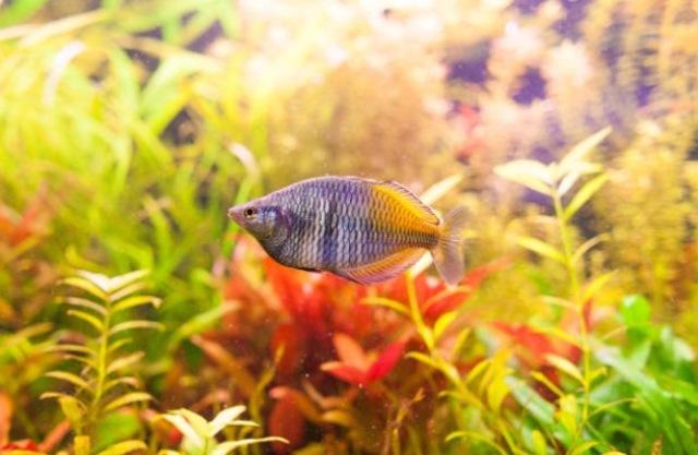 Ikan Boesemans Rainbow Fish