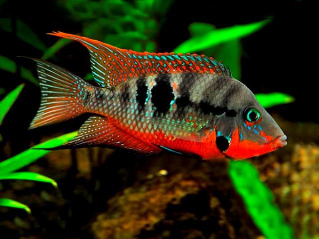 Ikan Firemouth