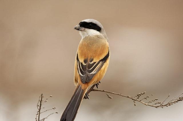 Burung Cendet Si Pemangsa Bersuara Unik