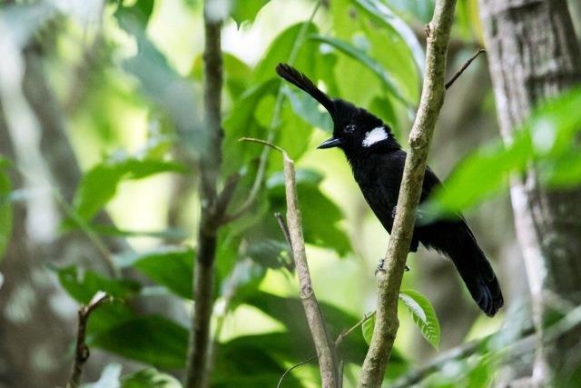 Mengenal Lebih Dekat Dengan Burung Cililin