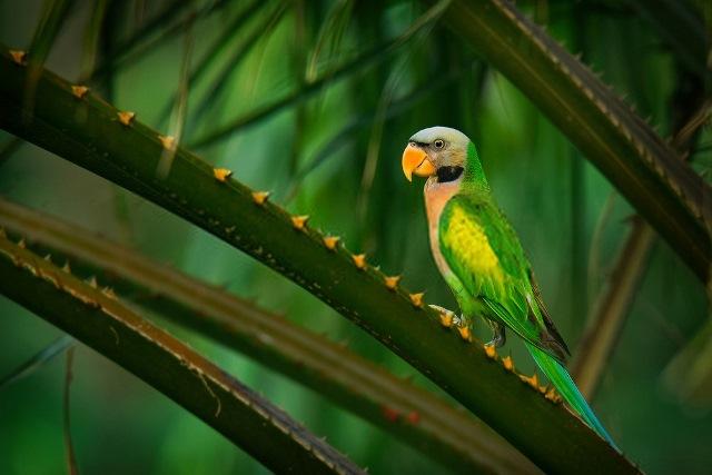 Burung Betet Salah Satu Burung Idaman Para Kolektor