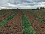 Tanaman Sela Pertanian