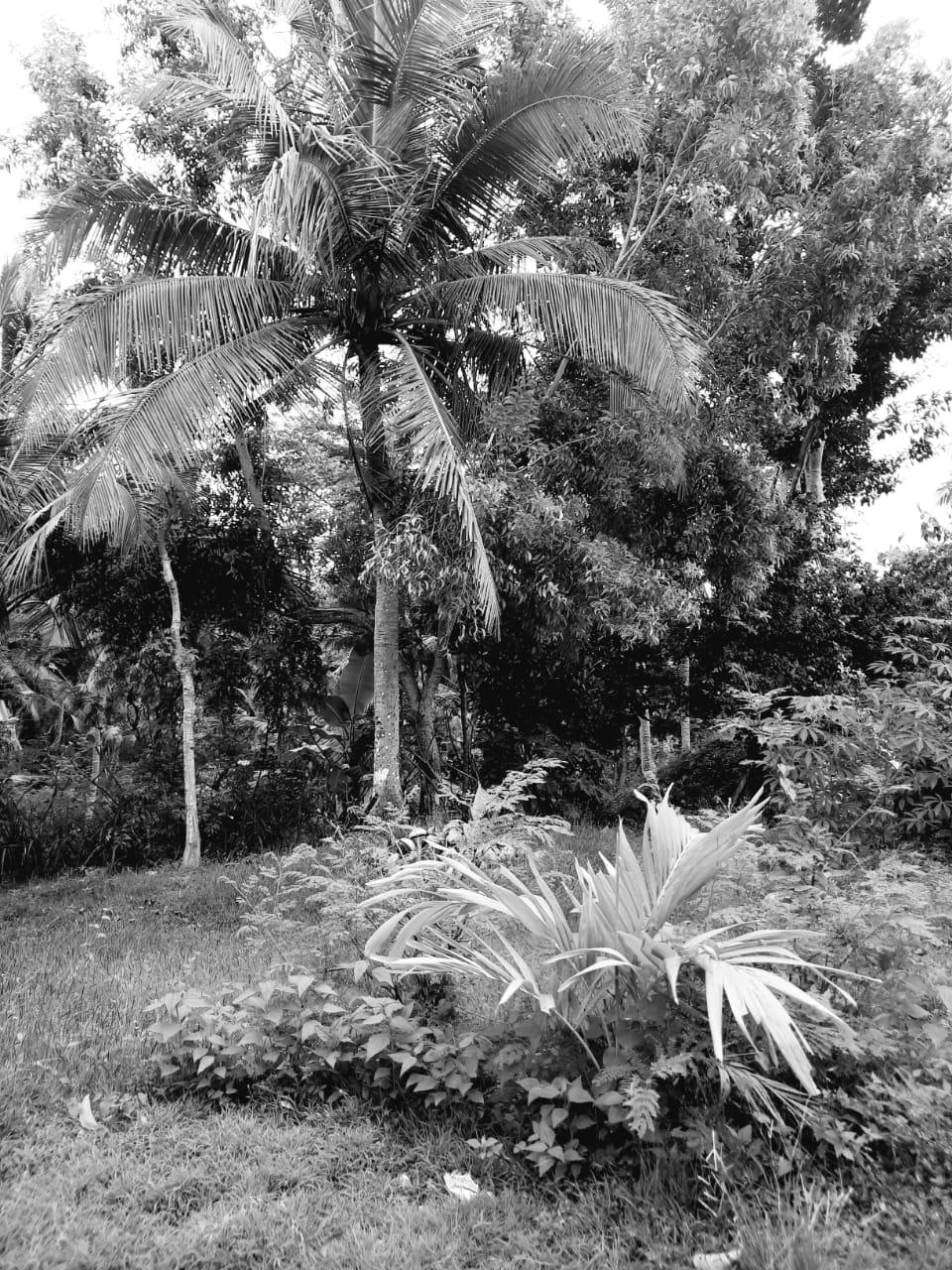 kelapa bali di tabanan