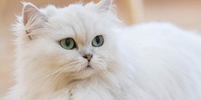 Kucing Pesia